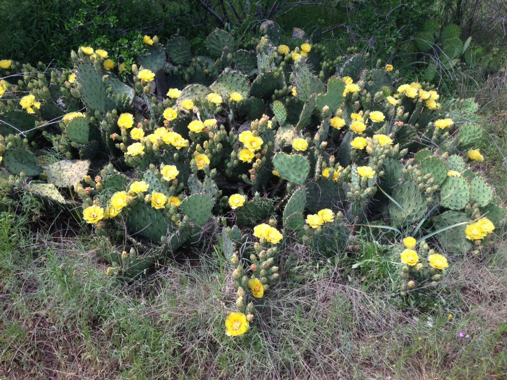 Cactus blooms on a hike in the greenbelt.